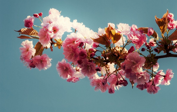 Picture leaves, background, branch, Blue, pink flowers