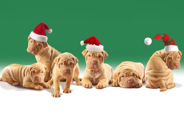 Picture dogs, puppies, Christmas hats, shar pei