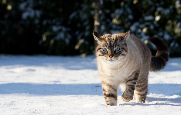 Picture winter, cat, cat, snow, nature, shadows