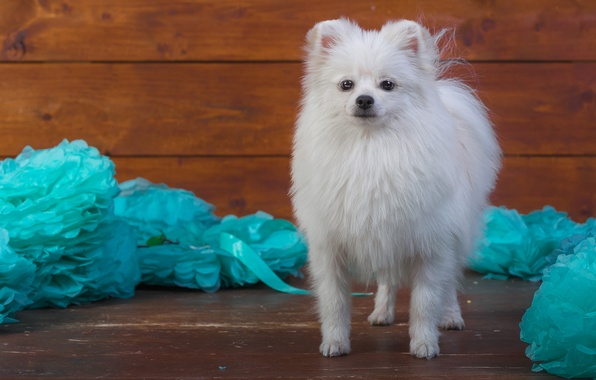 Picture white, decoration, paper, background, blue, Board, dog, puppy, is, face, cutie, photoshoot, Spitz