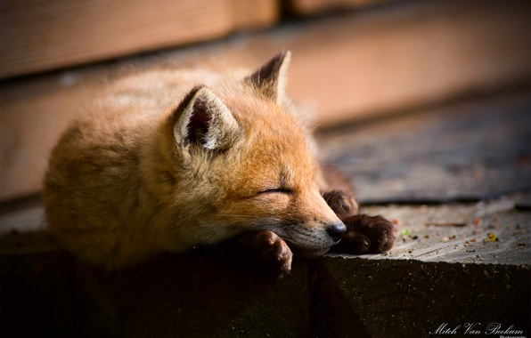 Picture Fox, sleeping, Fox, Fox