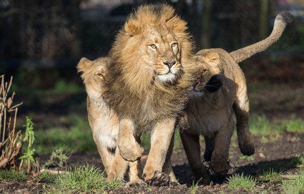 Picture predators, Leo, running, lioness