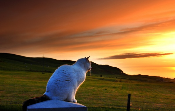 Picture cat, sunset, nature, the evening