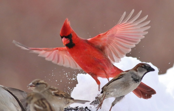 Picture winter, birds, wings, Sparrow, cardinal