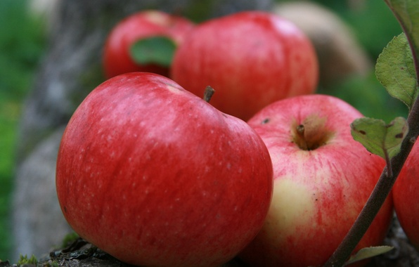Picture summer, nature, background, Wallpaper, apples, plant, Apple, garden, village, harvest, fruit, Stifel
