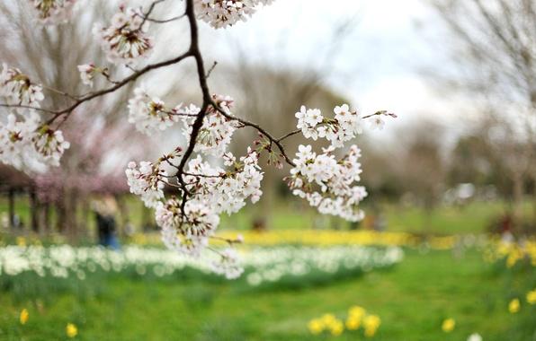 Picture flowers, yellow, nature, cherry, tree, branch, glade, branch, spring, petals, blur, Sakura, white, green, flowering