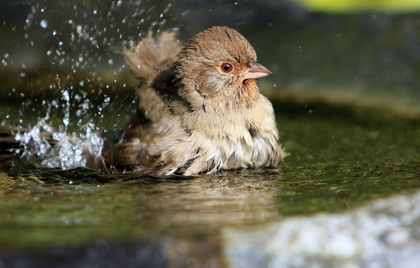 Picture water, squirt, birds, bird, puddle, Sparrow