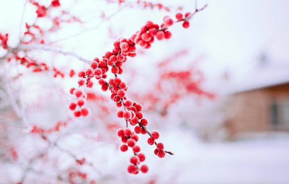 Picture winter, snow, nature, berries, tree, branch, red