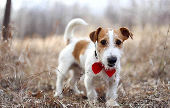 Picture each, dog, Jack Russell Terrier