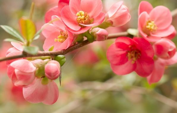 Picture macro, flowers, branch, spring, petals, red, pink, flowering