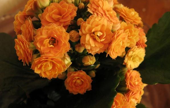 Picture photo, Flowers, Orange, Closeup, Kalanchoe