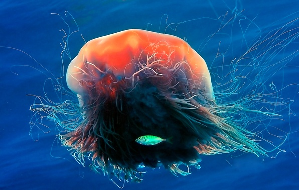 Picture sea, the ocean, color, fish, tentacles, jellyfish Lion's mane