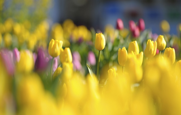 Picture light, flowers, glade, bright, spring, yellow, tulips, red, buds