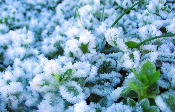 Picture ice, snow, Winter, plants