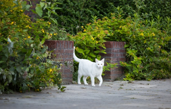Picture cat, white, grass, cat
