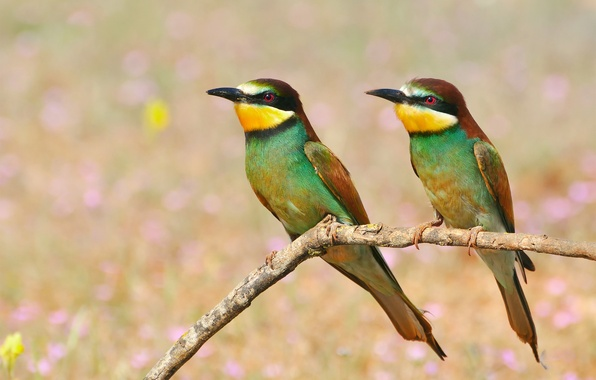 Picture birds, branch, Golden bee-eater, pouloudi
