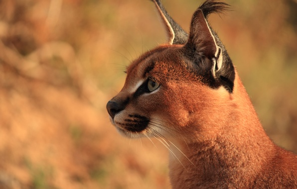 Photo wallpaper Caracal, steppe lynx, predator, Caracal, ears, face, brush
