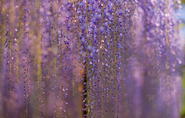 Picture macro, flowers, branches, tree, blur, lilac, Wisteria, Wisteria, curtains spring