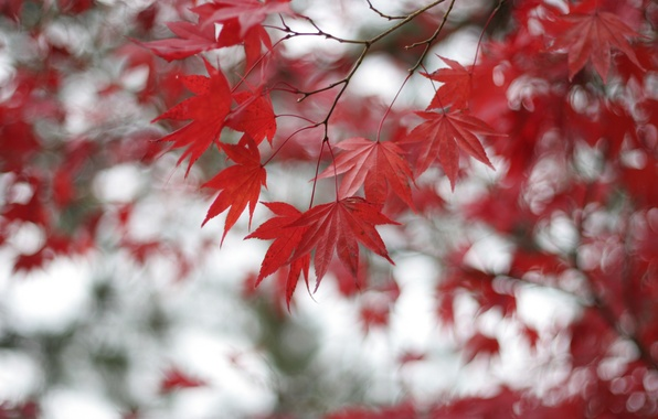 Picture leaves, branches, Tree, blur, red, maple, bokeh