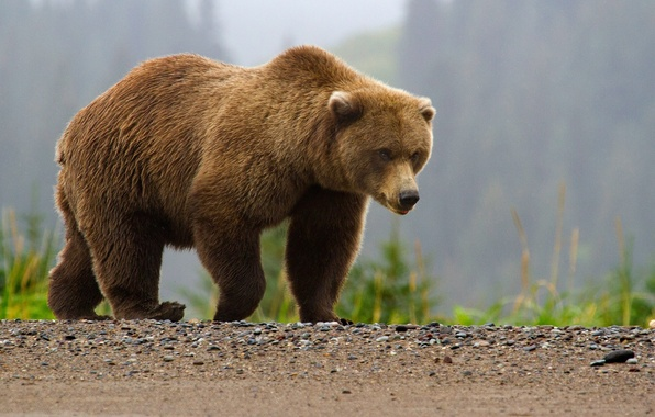 Picture bear, bear, brown