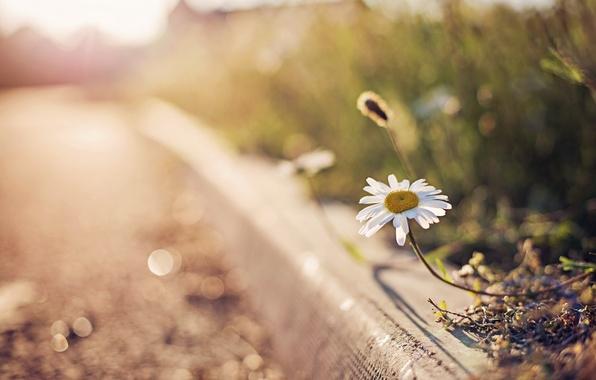 Picture flower, glare, Daisy, bokeh