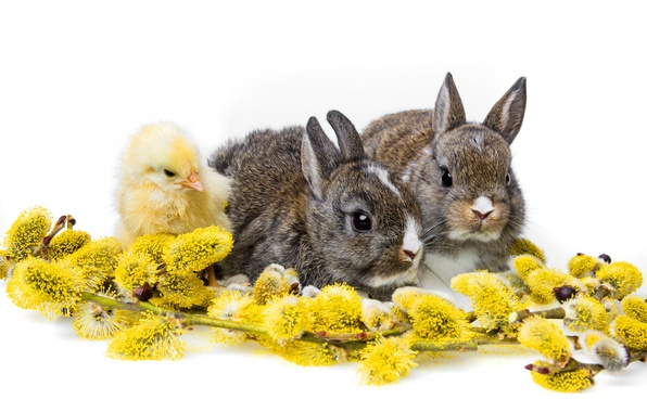 Picture rabbits, white background, chicken, Verba, cubs, Trinity, rabbits