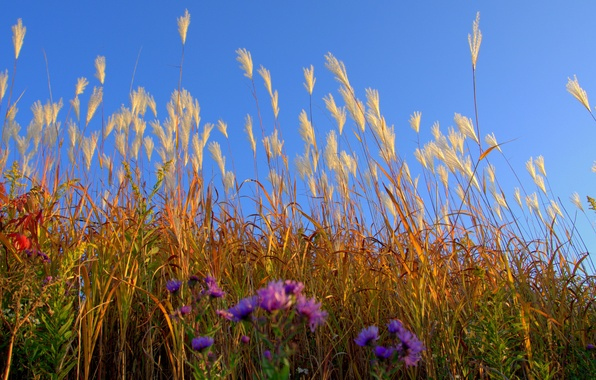 Picture field, the sky, grass, flowers, plant, meadow