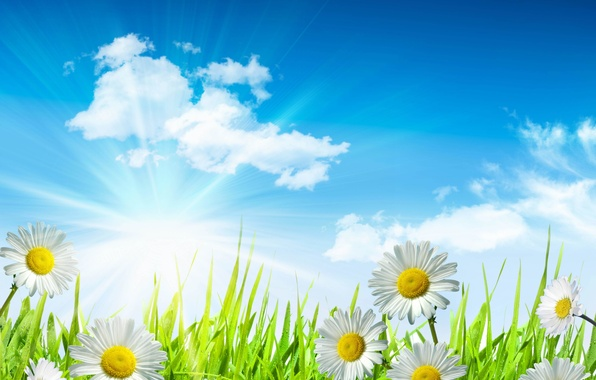 Picture the sky, grass, leaves, the sun, clouds, drops, flowers, freshness, Rosa, green, chamomile, beauty, spring, …