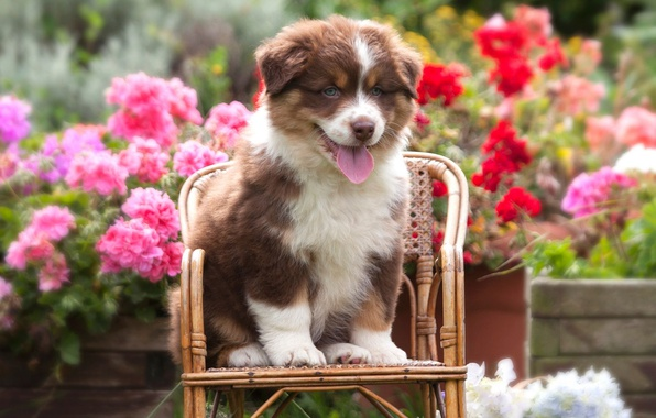 Picture language, summer, flowers, dog, small, garden, red, cute, puppy, face, sitting, flowerbed, pretty, chair, shepherd, …
