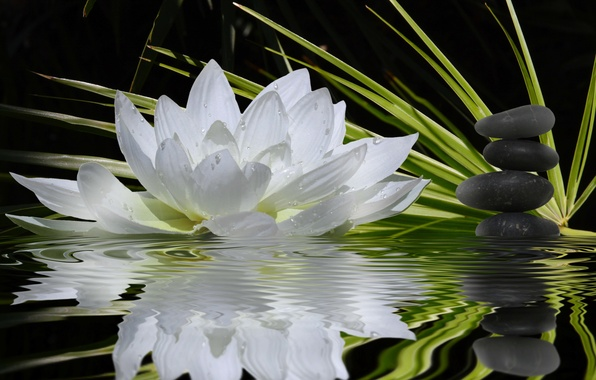 Picture white, flower, water, reflection, stones, stems, Lotus, green, harmony, black, balance, flat, water Lily, bokeh.