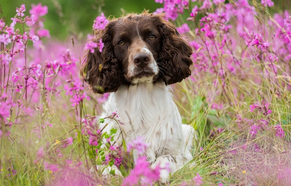 Picture flowers, dog, meadow