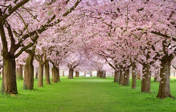 Picture trees, pink, beauty, spring, petals, alley, flowering, Spring blossom