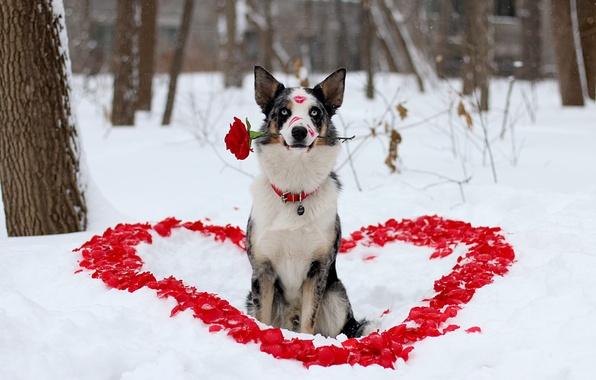 Picture winter, flower, look, love, each, rose, dog, petals, lipstick, dog, heart