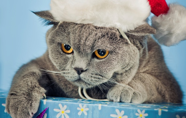 Picture cat, eyes, cat, face, grey, box, hat, paws, yellow, claws, British, Christmas, angry