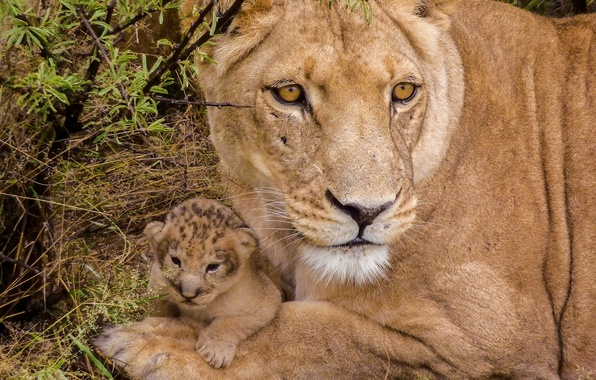 Picture baby, cub, lions, lioness, lion