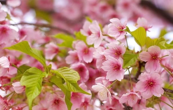 Picture leaves, macro, cherry, spring, Sakura, flowering