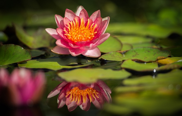 Picture leaves, water, reflection, Lily, water Lily