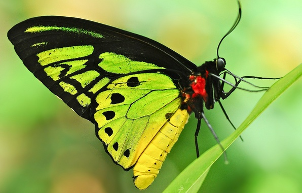 Picture sheet, background, butterfly, a blade of grass