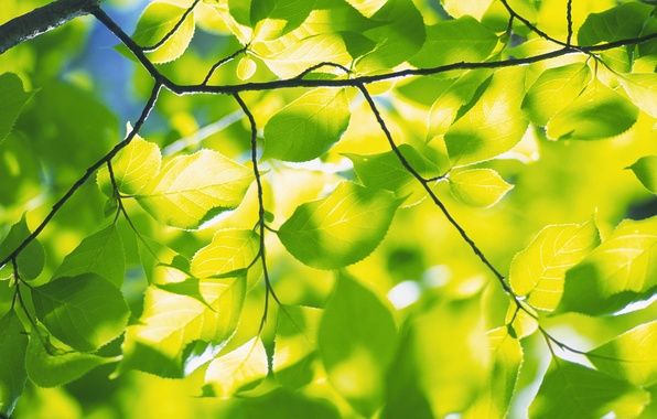 Picture greens, freshness, branches, nature, tree, foliage, branch, spring leaves