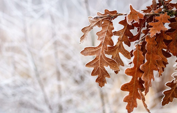 Picture cold, winter, frost, snow, Tree, brown, leaves, time of the year, oak, in the woods