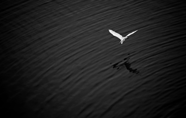 Picture flight, lake, wings, shadow, great white egret