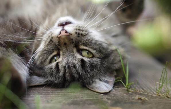 Picture cat, eyes, cat, mustache, grey, background, ears, grass