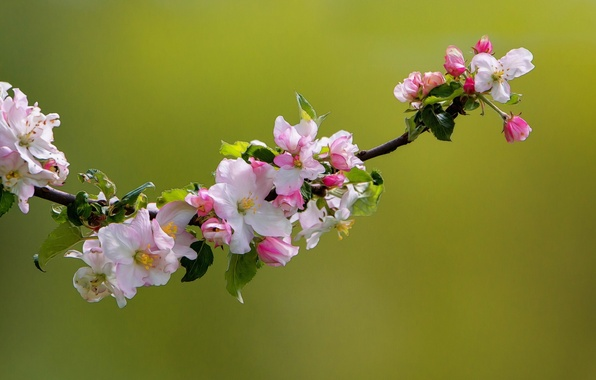 Picture macro, nature, branch, spring, Apple, flowering, flowers