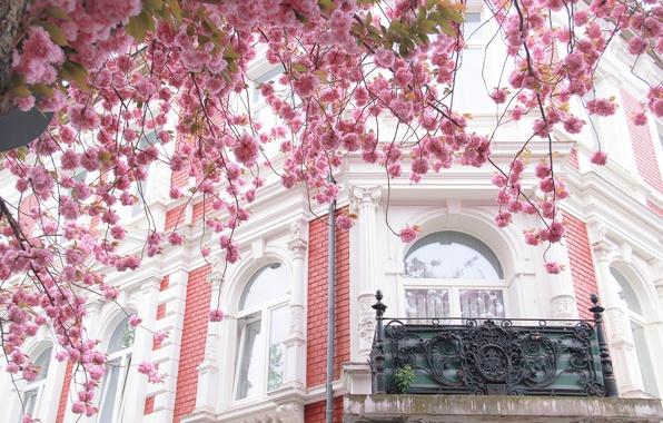 Picture the city, house, tree, France, Paris, the building, Windows, Sakura, balcony, Paris, architecture, flowering, France