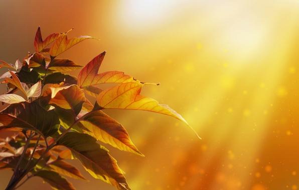 Picture autumn, leaves, rays, light, nature, tree, bokeh, Larisa Koshkina