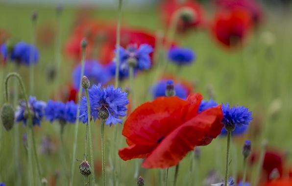 Picture field, grass, Mac, petals, meadow