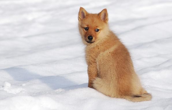 Picture winter, snow, dog, puppy, The Finnish Spitz