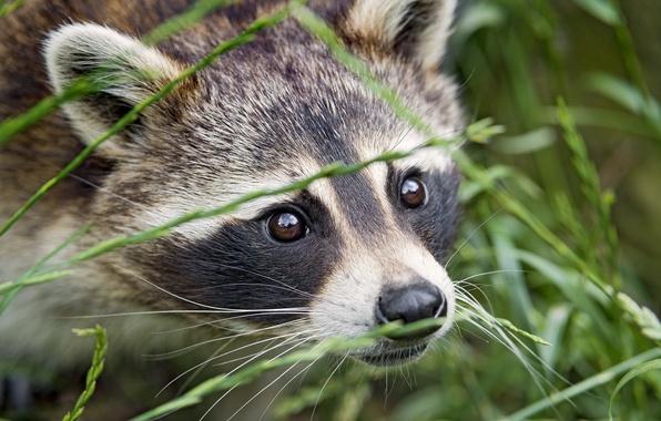 Picture grass, eyes, look, face, raccoon, ©Tambako The Jaguar