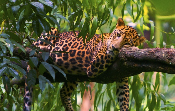 Picture leaves, tree, stay, predator, leopard