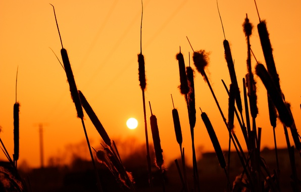Picture summer, the sun, sunset, the reeds, silhouettes